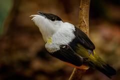 Guatemala-110 (s4rgon) Tags: bird dschungel fincatatin guatemala jungle lagodeizabal schnurrvogel vogel whitecollaredmanakin izabal gt
