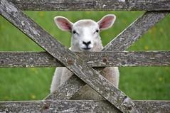 5 Baa Gate (Nige H (Thanks for 6m views)) Tags: nature animal gate sheep lamb baa 5baagate