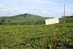 Tea Fields (My photos live here) Tags: africa canon eos tea fort farm plantation portal uganda 1000d