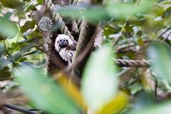 DSC_2403.jpg (Foster's Lightroom) Tags: trees plants au sydney australia newsouthwales zoos tarongazoo primates mosman tamarins cottontoptamarins