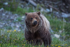 A Young Grizzly (murph le) Tags: bear park nature kananaskis wildlife grizzly dandelions provincial