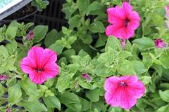 petunia Plant Stall Victoria Hall Oakham Rutland (@oakhamuk) Tags: rutland oakham victoriahall plantstall martinbrookes