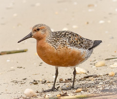 The 'Moon Bird' (tresed47) Tags: birds us newjersey content places capemay sandpiper folder waders takenby 2016 redknot peterscamera petersphotos canon7d cooksbeachroad 20160525newjerseybirds 201605may