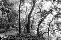 Nebelwald (elseyjetter) Tags: rain fog forest licht nebel wald regen formen nebelstimmung