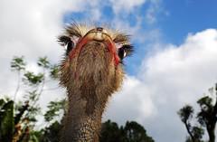 Avestruz close (Nelson Paim) Tags: closeup ostrich avestruz