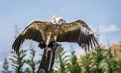 Buitre en Tierra Rapz (Heranv) Tags: ave alas buitre leonado hera rapaz calahorra tiera carroero envergadura heranv
