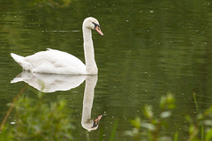 Swan Reflection (oandrews) Tags: england bird nature animal fauna canon outdoors swan unitedkingdom outdoor gb muteswan cygnusolor wollaston wildlifetrusts summerleys canonuk canon70d 30dayswild