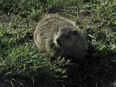 Pine Island Cemetery Mascot (caboose_rodeo) Tags: animal woodchuck clive gopher varmint thaddeus norwalkct 6265