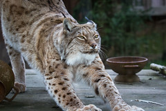 Stretching (Cloudtail the Snow Leopard) Tags: animal cat mammal zoo feline katze lynx tier luchs amneville sugetier