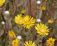 Gum plant with bee (Tom Clifton) Tags: wildflower pointlobos gumplant
