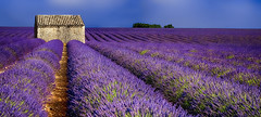 Senteurs de Provence....... (Malain17) Tags: flickr panorama provence paysage fleurs france cabanon sky photography photographers pentax sillons landscape colors lavandes image wow