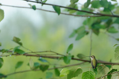 Female ruby-throated hummingbird (timbo on the hill) Tags: nikond7000 summer story indiana remedyranch usa 2016 female rubythroatedhummingbird bird