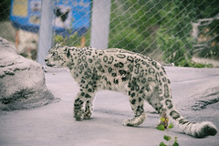 Toronto Zoo, July 16, 2016 (Katherine Ridgley) Tags: toronto torontozoo zoo snowleopard leopard cat bigcat pantherauncia pantheraunciasynunciauncia unciauncia panthera felidae carnivore carnivora mammal mammalia animal animalia