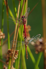 Joined (Hugobian) Tags: hertford heath nature reserve hmwt insect macro wildlife flora fauna pentax k1 ruddy darter dragonfly