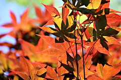 19/116 Patterns in Nature: Japanese Maple in Spring (Bella Lisa) Tags: japanesemaple 116picturesin2016