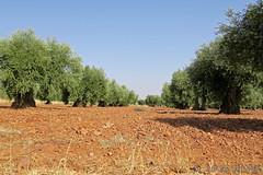 konstan@me.com (Constan Garcia) Tags: canon fotografia g5x losyebenes toledo viajes viedos olivo