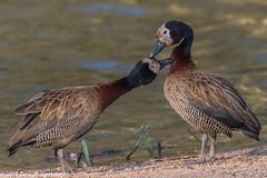 Love at the duck pond. (Duncan Blackburn) Tags: 2016 sabisun southafrica whitefacedduck bird nikon nature wildlife ngc npc