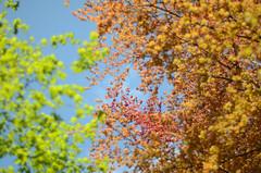 leaves in spring (Wolfgang Binder) Tags: sky tree leaves zeiss leaf nikon branch branches planar planart1450 d7000