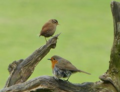 "A ""tatty"" Robin and a Wren. (Feathers (Allan)) Tags: robin wren tatty"