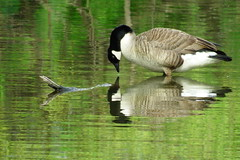 Who's that? (Jackpicks) Tags: reflection nature water birds wildlife goose approved canadiangoose