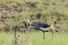 _MG_7395 (farhan1mirza) Tags: wild nature animal canon kenya wildlife 6d nnp nairobinationalpark