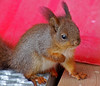 Baby Squirrel (he needs a name!) (Pablo Minto) Tags: redsquirrel ekorn babysquirrel ekornbaby
