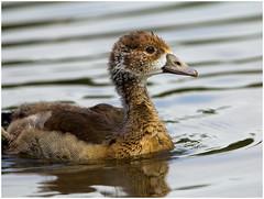 Growing up (FocusPocus Photography) Tags: bird animal goose gans gosling neckar ludwigsburg tier vogel egyptiangoose gänseküken nilgans
