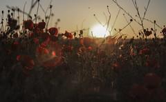 For(n)ever [21:52 - Golden Hour] (ponzoñosa) Tags: sunset golden hangover hour forever sigurros goldenhour santarita oscuridad castillalamancha amapola motadelcuervo 52weeks fornever varut