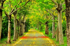 Tree lined bikeway in Taichung Taiwan (mattlaiphotos) Tags: trees bikepath bicycle rural landscape countryside flora scenery exercise taiwan riding lane botanic taichung   rurality