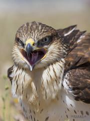 Angry bird (yorxca) Tags: madrid espaa animal animals fauna canon spain angry 5d animales enfado markiii salvaje