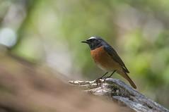 Male Redstart (Gareth Keevil) Tags: uk wild bird wales spring migration brecon powys whitecap migrant redstart nikond810 nikon200400mm maleredstart garethkeevil