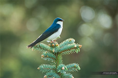 Tree Swallow Singing (www.matthansenphotography.com) Tags: morning bird nature animal pine singing background wildlife evergreen perch backlit swallow calling avian backlighting songbird treeswallow chirping passerine matthansenphotography