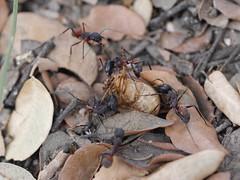 P1030893 (Dr Zoidberg) Tags: hormigas escarabajo zuiko50mmmacro