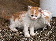 2 fighters.. (westrail) Tags: cat omot
