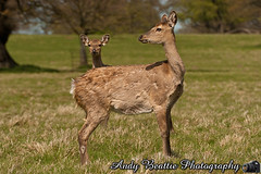 2016-05-04-043 (Andy Beattie Photography) Tags: uk england nature mammal photography europe photographer wildlife yorkshire deer halifax ungulate northyorkshire westyorkshire ripon eventoed pecora cervusnippon sikadeer hoofed andybeattie andybeattiephotography