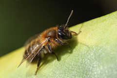 Miner bee female (Lord V) Tags: macro bug insect bee andrena minerbee