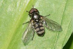 Hoverfly- Portevinia maculata (linanjohn) Tags: uk macro nature wildlife insects cumbria syrphidae diptera hoverflies eristalinae porteviniamaculata