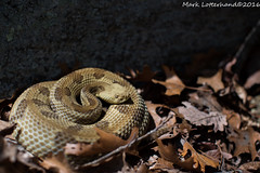 Timber Rattlsnake (Lotterhand) Tags: new york timber rattlesnake