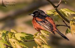 Orchard Oriole (Shawn Collins Photography) Tags: bird birds canon pennsylvania birding migration crawford birdwatcher songbirds warblers crawfordcounty