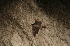 IMG_4572 (californiajbroad) Tags: bird nature turkey outdoors wildlife vulture