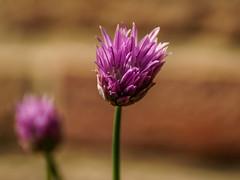 Blumen im Garten im Mai-5 (joerg.stappen) Tags: pflanze blume unsergarten