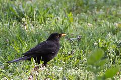Blackbird (Tadas Telksnys) Tags: park bird nature grass animal outdoor greenery turdusmerula blackbird lithuania kaunas lietuva tamronaf70300mmf456divcusdif