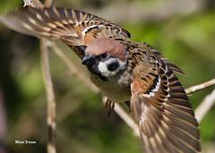 AN9A5959a1sz (Mark Strain.) Tags: wild tree bird nature birds animal mark wildlife sparrow strain passer wildbirds montanus