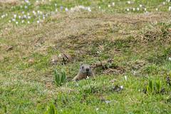 Murmeltiere / Marmots (oonaolivia) Tags: marmots murmeltier