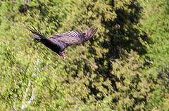 Treetop Glider (Jay:Dee) Tags: ontario bird burlington turkey flying nemo flight conservation mount area vulture aura avian cathartes halton