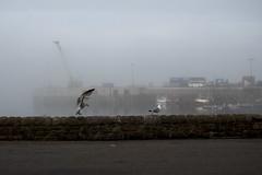 Seagulls in the fog, Alderney (neilalderney123) Tags: weather birds fog harbour seagull alderney braye 2016neilhoward