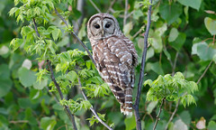 Barred Owl by Steve Gifford (Steve Gifford - IN) Tags: county bird nature photo wildlife steve picture indiana photograph owl steven society barred audubon gifford ias posey haubstadt
