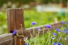 Cornflower Fence (~DGH~) Tags: fence cornflowers fencefriday ~dgh~ smcpentaxda50mmf18 pentaxk50