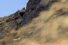 Sotto Controllo (Andrea Moraschetti Photography) Tags: park wild alps nature look animal rock control wildlife ngc natur natura alpine sentinel adamello chamois camoscio