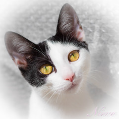 RLHG Nieve (Ricardo Lanas photography) Tags: nieve gato gata felino mascota 2016 ojosdegata ricardolanasphotography rlhg ricardolanasphotography